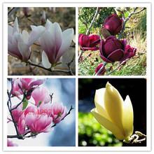 30 pcs magnolia seed, magnolia tree, magnolia flowers seed for home garden DIY  ornamental-plant free shipping(China (Mainland))