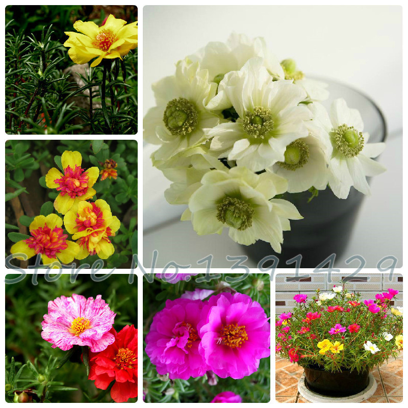 pine needles peony seeds,about 200 particles, Potted flower seed Portulaca grandiflora, sun plant seeds, flower pot planters(China (Mainland))