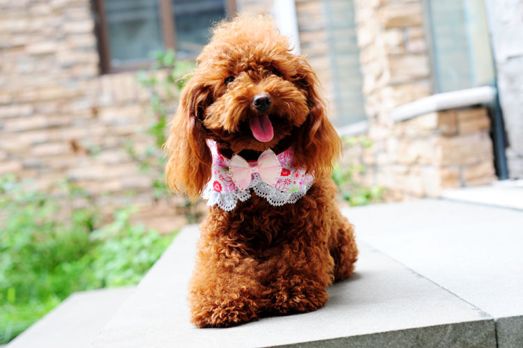 Lace Dog Cat Collar Nylon Pet Scarfs Dog Bandanna With Bowknot Pet Bow Tie(China (Mainland))