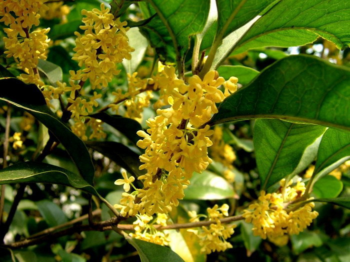 Garden plants 4Sweet Tea Olive Flower potted seed Osmanthus seeds - CelineBridal Dresses 2 store