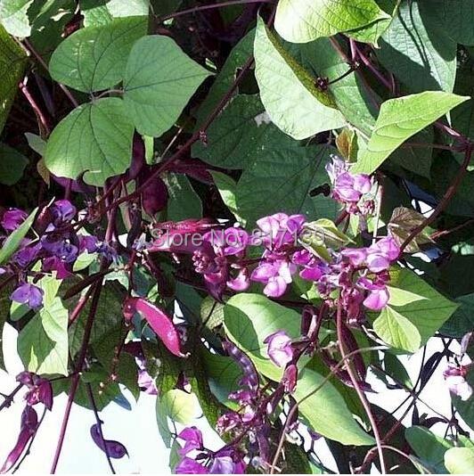 Non-GMO Home Garden Plant 10 Seeds,purple Dolichos lablab HYACINTH BEAN VINE vegetable Seeds Free Shipping(China (Mainland))