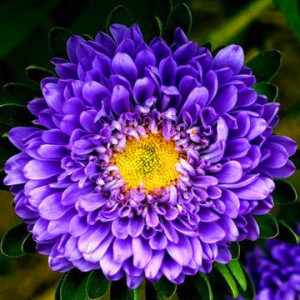 50 Blue China Aster Flower Seeds Low Budget DIY Backyard Ornamental garden plant Beautiful A059(China (Mainland))