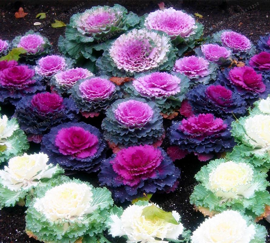 chou fleurs promotion achetez des chou fleurs promotionnels sur alibaba group. Black Bedroom Furniture Sets. Home Design Ideas