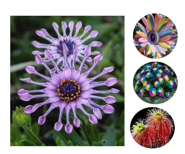 100 Pcs/ Bag blue chrysanthemum seed Classic exotic flowers blue make your garden you deserve to have this wonderful(China (Mainland))