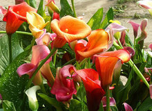 Buy Calla lily seeds, potted balcony,Calla lily can radiation absorption, mixed colors 100 seeds, calla lily bulbs for $1.03 in AliExpress store