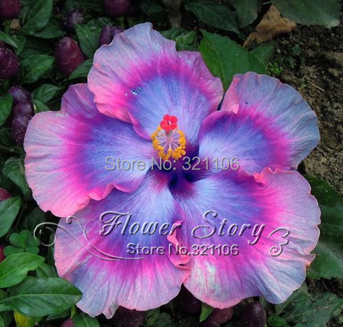 100 Hibiscus Flower Seeds Hardy DIY Home Garden potted or yard flower plant easy-growing Free Shipping(China (Mainland))