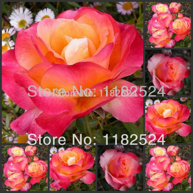 Lady Moon Rose Moon Rose Seeds Bonsai