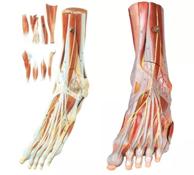 Neural model muscle attached to the main blood vessels 9 parts of foot muscle anatomy model(China (Mainland))