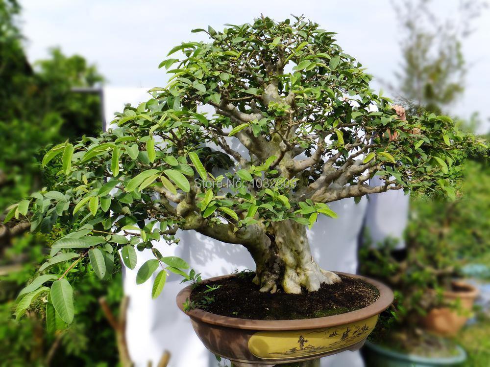 Psidium guajava bonsai tree fruit seeds red white guava seeds for choice 100pcs/pack high quality sementes frutas for home DIY(China (Mainland))