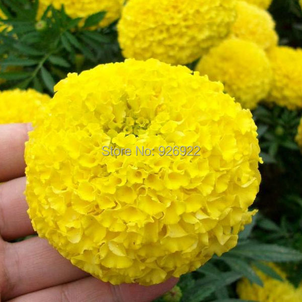 Potted flower seeds tagetes erecta yellow aztec marigold chrysanthemum seeds cellular about 50 particles