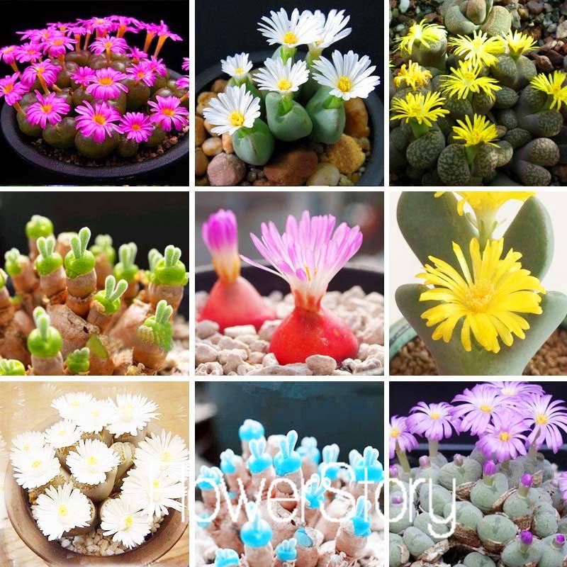 200 Rare Mix Lithops Seeds Living Stones Succulent Cactus Organic Garden Bulk Seed,#HIBOYT(China (Mainland))
