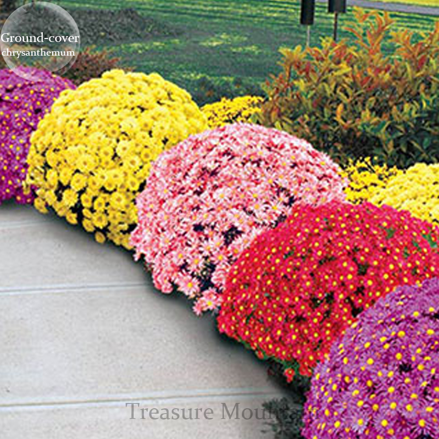 chrysanthemums a review Unbeatable for a riot of color in the fall garden the quilled petals, golden yellow  with red tips, sparkle like matchsticks neat, tightly branched.