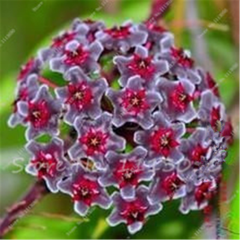 Promoci n de hydrangea semillas compra hydrangea - Semillas de hortensias ...