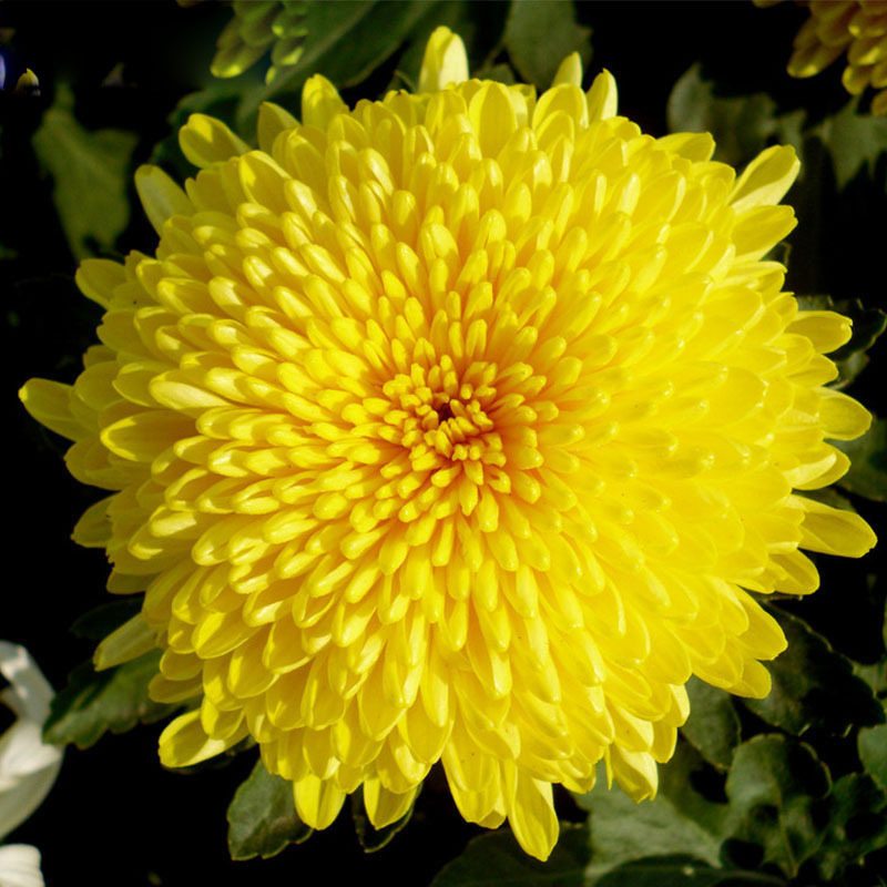 100 pcs/bag Beautiful Yellow Chrysanthemum Seeds ... Yellow Chrysanthemum Flower