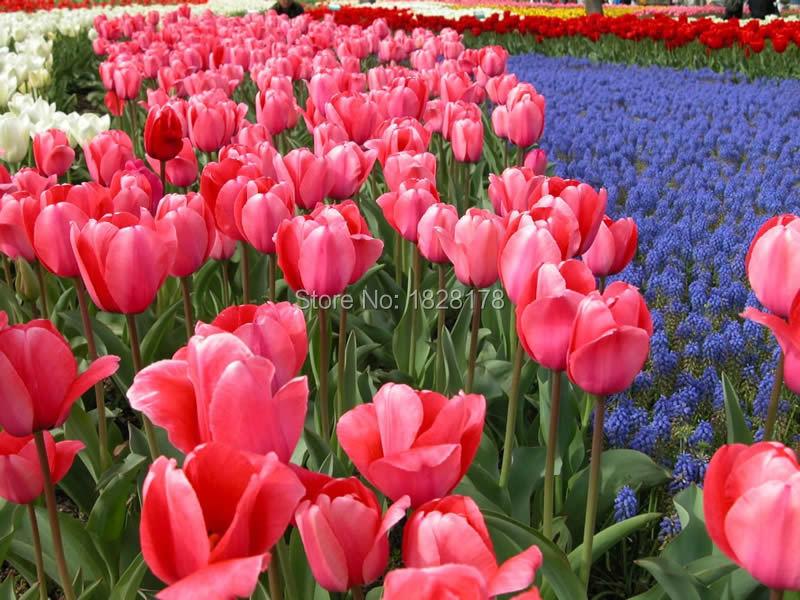 Acquista all 39 ingrosso online tulipano rosso lampadine da for Pianta pistacchio prezzo