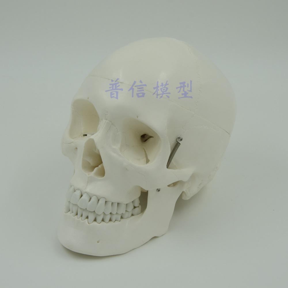 Human skull model skeleton model Medical Science teaching supplies <br><br>Aliexpress