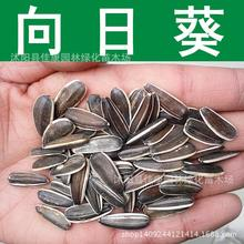 Wholesale Food Sunflower Sunflower seeds raw sunflower seeds Inner Mongolia yielding oil sunflower 200g / Pack(China (Mainland))