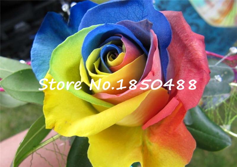 100 семена редкие голландия радуга роза цветок любовник много - цвет растения для дома сад редко радуга роза цветок семена