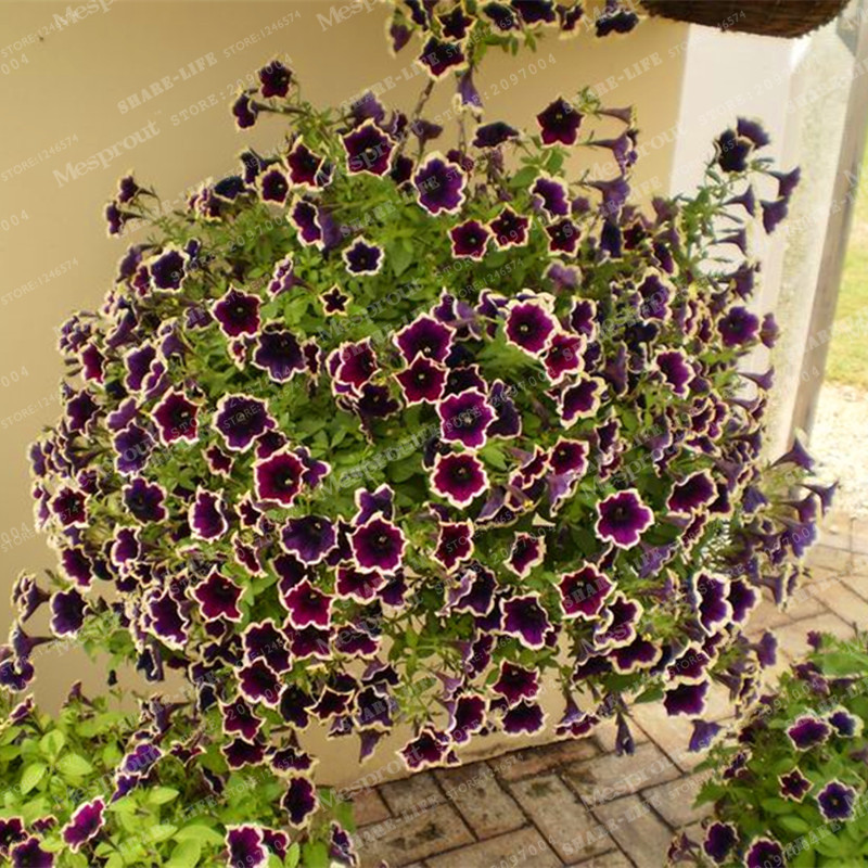 200 pieces/Purple Petunia Seeds rare Black Petunia Flower Seeds in Bonsai indoor Flower Seeds for Home Garden Bonsai plant(China (Mainland))