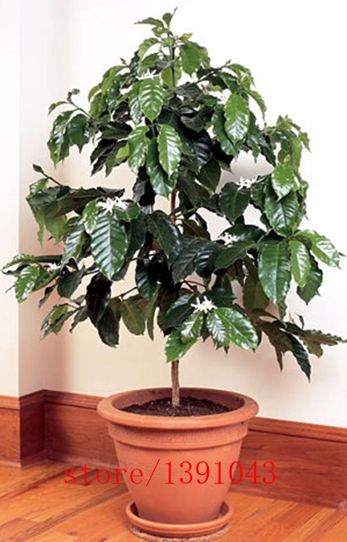 Кофейное дерево в домашних условиях как ухаживать