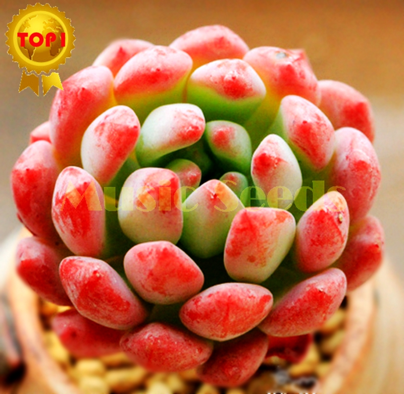 1Bag=100pcs hot sale rare Smurfs seeds mini Succulent Plant exotic lotus flower seeds plant bonsai Home and Garden free shipping(China (Mainland))