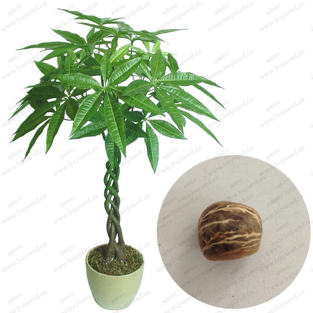 Карликовое дерево , 100% ,  1 карликовое дерево china seeds dionaea muscipula