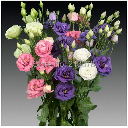 Eustoma free shipping cheap eustoma seeds Bonsai balcony flower eustoma potted seed 100 pcs bag