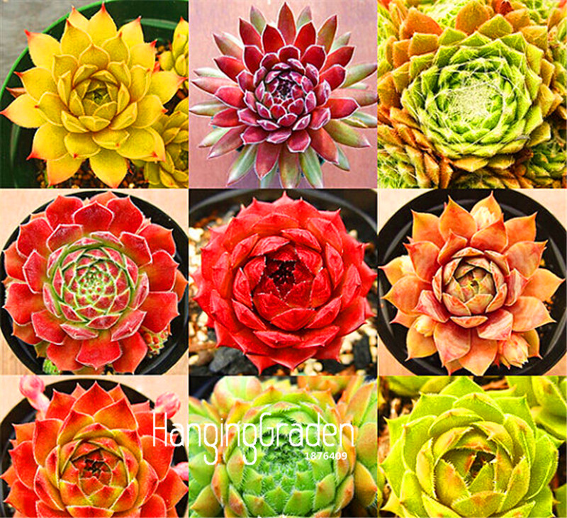Best-Selling!10 Pieces/pack Ball cactus seeds rare succulent plant seeds Bonsai Celestial Flower pot planters Flores,#42P9AO