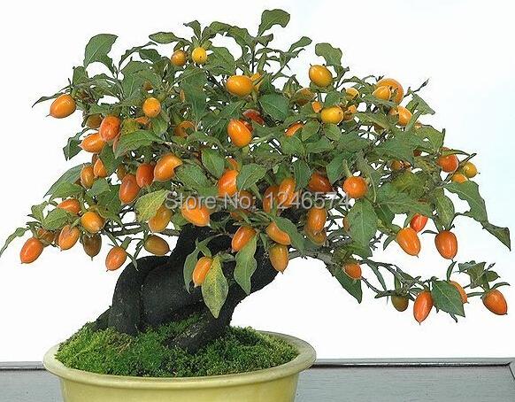 20 Persimmon Seeds, Diospyros Kaki, Exotic Bonsai, Beautiful & Delicious Fruit Tree, Fruit seeds(China (Mainland))