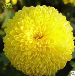 Garden plants 50 Seeds (1 ORIGINAL PACKS)Garden Flowers Yellow Aztec Marigold Tagetes Chrysanthemum - CelineBridal Dresses 2 store