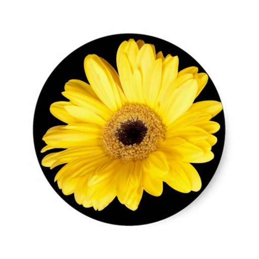 3.8cm Yellow Gerber Daisy Close Up Photograph Classic Round Sticker(China (Mainland))