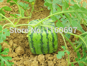 Home&garden 40 Seeds Watermelon seeds Watermelon Fruit Seeds Home Bonsai seed semillas de plantas with a free gift(China (Mainland))