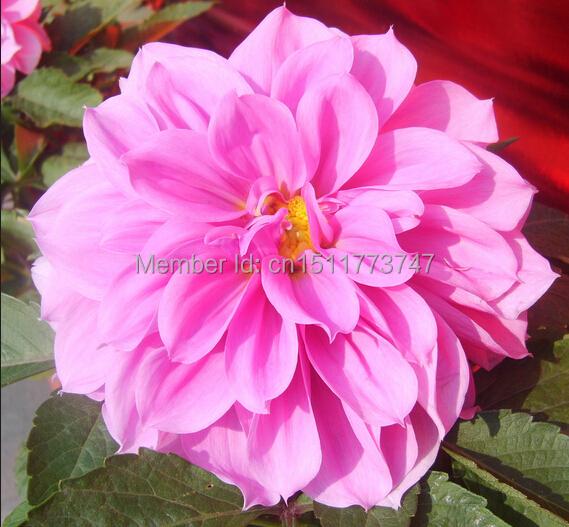 flores jardim perenes : flores jardim perenes:Sementes de flores jardim fushcia camélia sementes de flores perenes