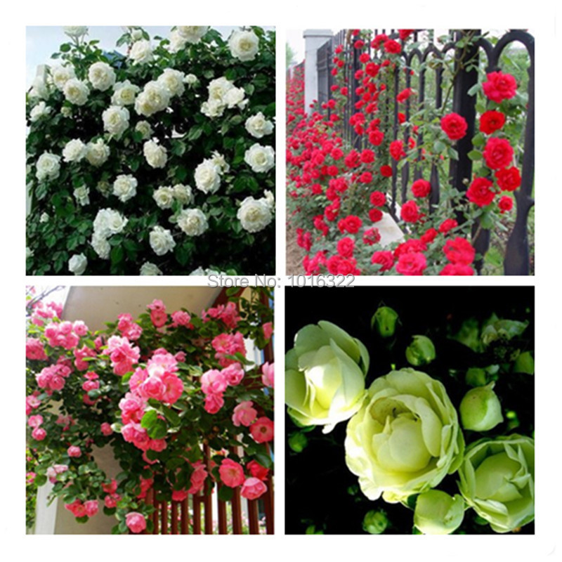 Flowerpots planters 450 seed Chinese Red Pink green White Rose Seeds each color 150 seeds Bonsai plants Seeds for home & garden(China (Mainland))