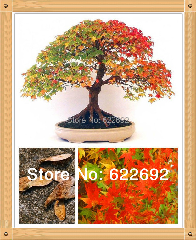 Marilyn's Childhood, Mini Bonsai Plants , Potted Canadian Colorful Maple Seeds 20 Pieces - 77 Factory Stores store