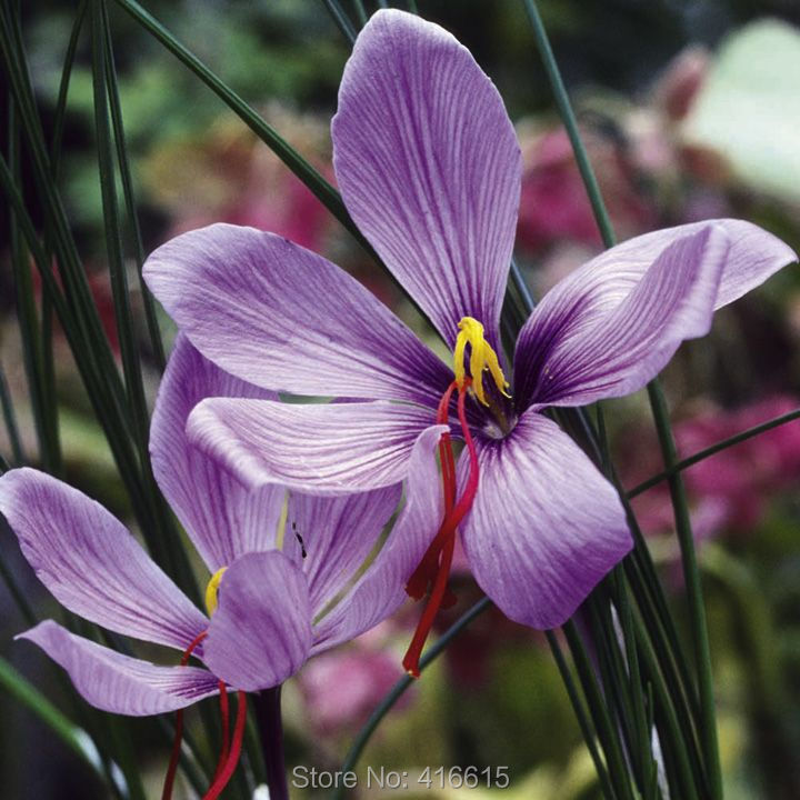 Chinese Medicine Plant Herb Seeds Crocus sativus: Saffron Crocus Seeds Easy To Grow Home Garden Ground Cover Plant +MysteryGift(China (Mainland))
