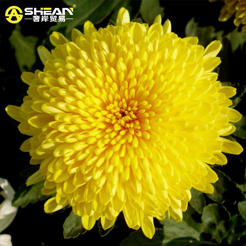 100 pcs/bag Beautiful Yellow Chrysanthemum Seeds Chrysanthemum Morifolium Seeds Flower Potted Plant for DIY Home Garden(China (Mainland))