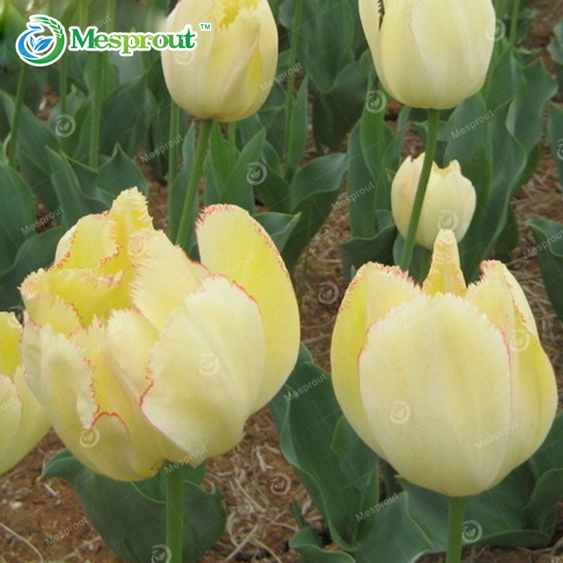 Rare Blue Tulips Flowers Seeds Bonsai Tulip Seeds Flower Plants 10 Particles / lot 24 Colors(China (Mainland))