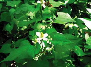 1000g 10:1  Houttuynia cordata extract Herba Houttuyniae extract Heartleaf Houttuynia Herb extract