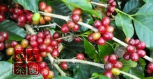 1000g AA Level China Yunnan Typica Green Coffee Been Green Slimming Coffee More Than 17Precision Test
