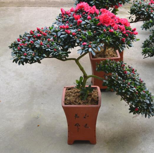 Free shipping 100pcs azalea potted flower seeds with over for Plant de pot exterieur