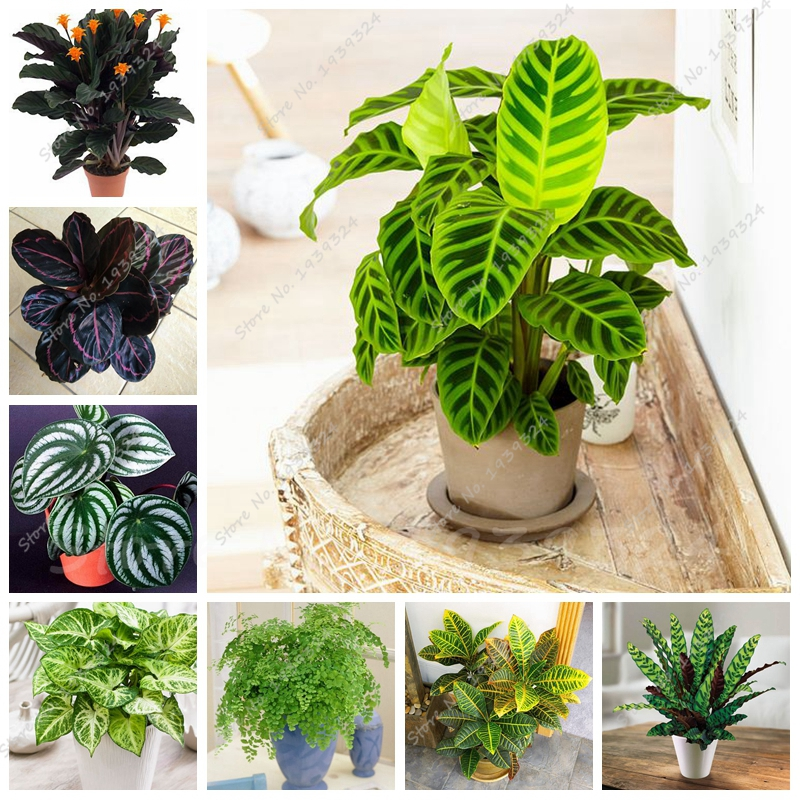 50 Pcs Rare Thailand Calathea Flower Seeds, Holiday Peacock Plant, Low Light, High Humidity, Easy to Grow, Garden Ornaments(China (Mainland))