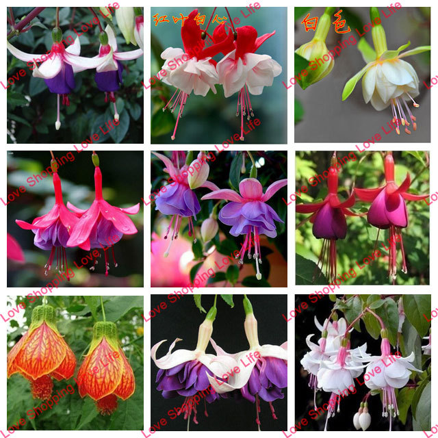 Fuchsia seeds lantern flower indoor balcony bonsai seed flower seeds 50 seeds bag