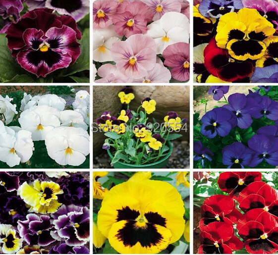 Arbitrary choice,100pcs/bag Multicolor pansy seeds beautiful flower bonsai plant hoem garden free shipping(China (Mainland))