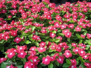 1kg 10:1 Catharanthus roseus extract Periwinkle extract<br><br>Aliexpress
