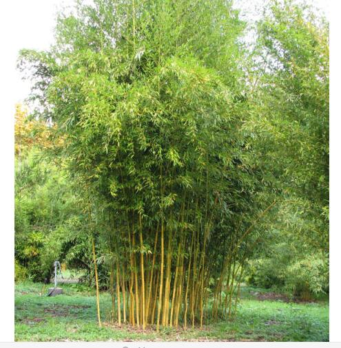 Potted plant seeds Bonsai 100 seeds bamboo seeds Home Garden Plant Fresh green bamboo Phyllostachys aureosulcata Spectabilis d25(China (Mainland))