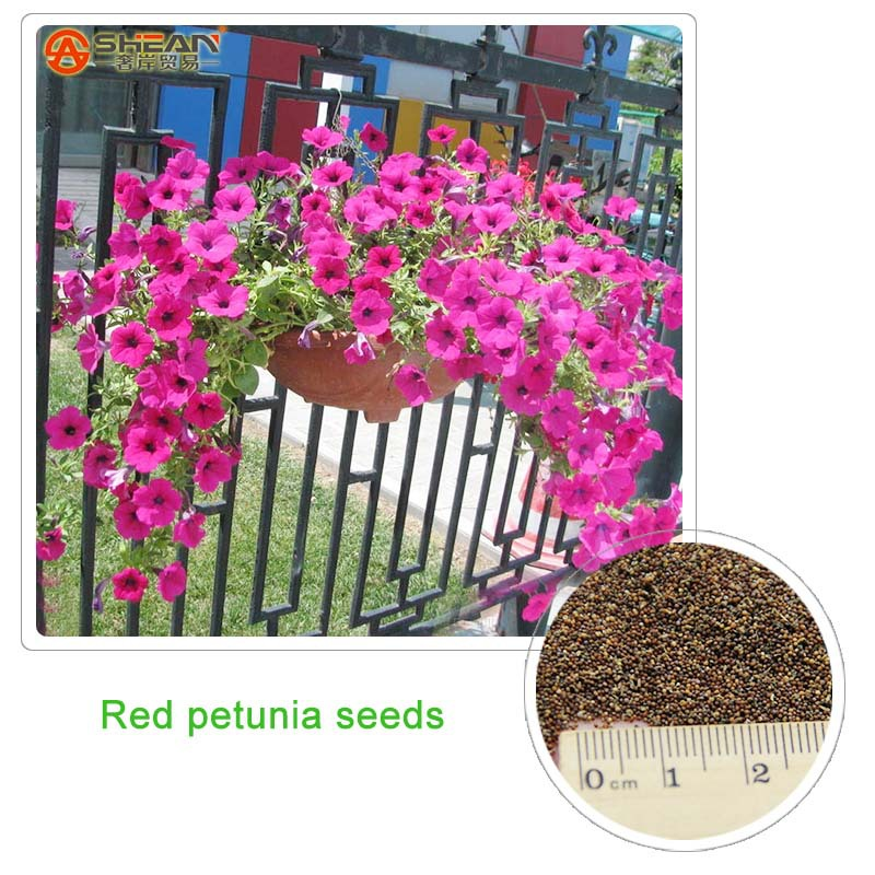 Red Petunia Seeds Garden And Patio Potted Plant Morning Glory Seeds Balcony Petunia Flowers 300 Pieces(China (Mainland))