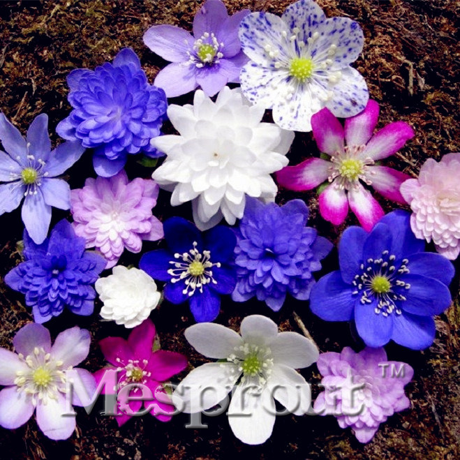 100 Pieces Butterfly Flowers Seeds Jardin Home Terrace Orchid Bonsai Seeds Potted Flower Garden Orchid Flowers Rare Plants Pot(China (Mainland))