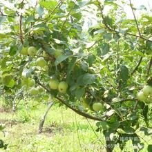 Free Shiping Bonsai Fuji Apple Tree Seeds, (60 pieces Fresh Apple seeds), PLUS MYSTERIOUS seeds 50pcs/lot RS28(China (Mainland))