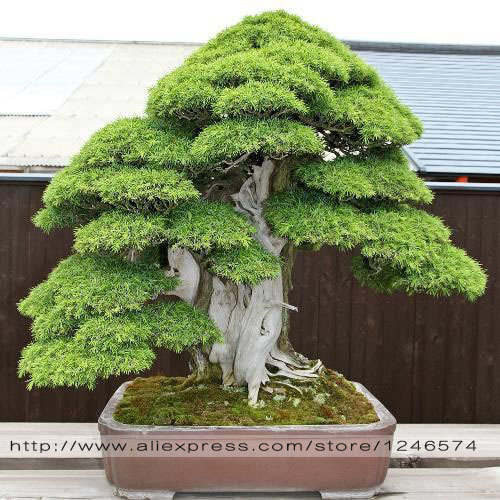 Bonsai seeds 30 pcs japanese red cedar cryptomeria for Arbol de hoja perenne para jardin
